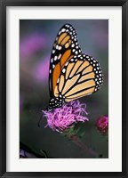 Framed Monarch Butterfly on Northern Blazing Star Flower, New Hampshire