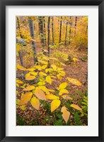 Framed Northern Hardwood Forest, New Hampshire