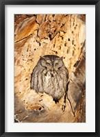 Framed Eastern Screech Owl, Rye, New Hampshire