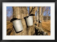 Framed Sugar maple trees in Lyme, New Hampshire