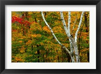 Framed Autumn at Ripley Falls Trail, Crawford Notch SP, New Hampshire