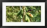 Framed Toucan Bird Feeding on Papaya Tree, Costa Rica