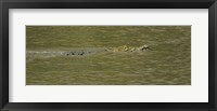 Framed Crocodile in a River, Palo Verde National Park, Costa Rica
