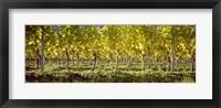 Framed Vineyard, Barcelona, Spain