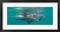 Framed Two Bottle-Nosed Dolphins Swimming in Sea, Sodwana Bay, South Africa