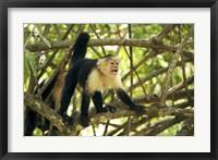 Framed White-faced Capuchin Monkey, Costa Rica