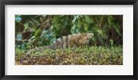 Framed Iguana, Costa Rica