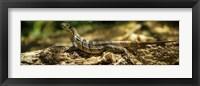 Framed Iguana on Log, Costa Rica