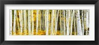 Framed Double Xxposure Aspen Grove, Grand Teton National Park, Wyoming