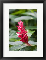 Framed Red Ginger flower, Viti Levu, Fiji