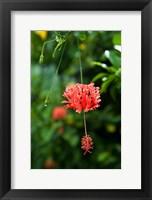 Framed Coral Hibicus flower, Taveuni, Fiji