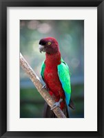 Framed Red-Breasted Musk Parrot, Tropical bird, Fiji