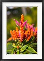 Framed Flower, Fiji