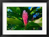Framed Pink Ginger flower, Melanesia, Fiji