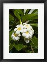 Framed Frangipani flowers (Plumeria), Nadi, Viti Levu, Fiji
