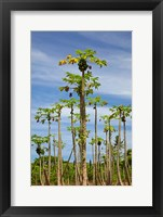 Framed Pawpaw (papaya) plantation, Lower Sigatoka Valley, Sigatoka, Coral Coast, Viti Levu, Fiji