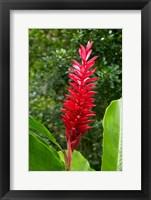 Framed Red Ginger Flower (Alpinia purpurata), Fiji