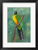 Framed Sulphur-breasted Musk Parrot, Tropical bird, Fiji