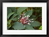 Framed Tropical flower, Coral Coast, Viti Levu, Fiji