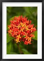 Framed Tropical flower, Fiji