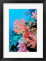 Framed Colorful Sea Fans and other Corals, Fiji, Oceania