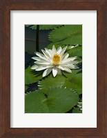 Framed Fiji, Water lily flower