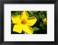 Framed Fiji, Viti Levu Island Flower
