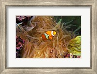 Framed Close up of a Clown Fish in an Anemone, Nadi, Fiji