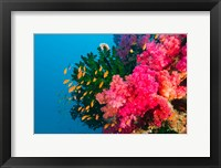 Framed Multicolor Soft Corals, Coral Reef, Bligh Water Area, Viti Levu, Fiji Islands