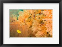 Framed Golden Dream Reef, Bligh Water Area, Viti Levu, Fiji Islands