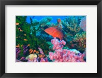 Framed Fairy Basslet fish and Coral, Viti Levu, Fiji