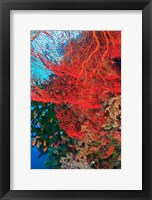 Framed Gorgonian Sea Fan, Fairy Basslets fish, Fiji