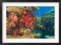 Framed Fairy Basslet fish in Viti Levu, Fiji