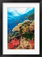 Framed Fairy Basslet fish Swimming, Viti Levu, Fiji