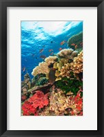 Framed Fairy Basslet fish Swimming, Viti Levu, Fiji