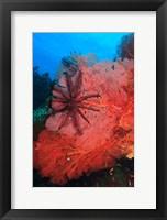 Framed Pristine Gorgonian Sea Fans marine life, Fiji