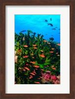 Framed Fairy Basslet fish in Clear Blue Waters, Viti Levu, Fiji