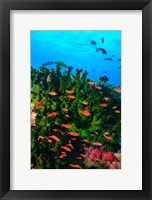 Framed Fairy Basslet fish in Clear Blue Waters, Viti Levu, Fiji