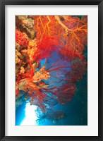 Framed Gorgonian Sea Fan, Marine life, Fiji