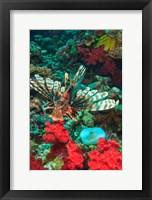 Framed Lionfish, Rainbow Reef, Taveuni Island, Fiji