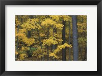 Framed Sugar Maples and Black Cherry in Litchfield Hills, Kent, Connecticut