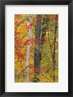 Framed Fall in a Mixed Deciduous Forest in Litchfield Hills, Kent, Connecticut