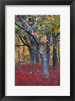 Framed Blueberries in Oak-Hickory Forest in Litchfield Hills, Kent, Connecticut