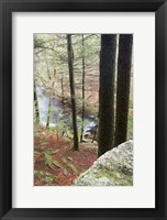 Framed Forest of Eastern Hemlock Trees in East Haddam, Connecticut