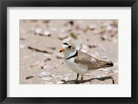 Framed Piping plover, Long Beach in Stratford, Connecticut