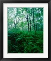 Framed Forest Ferns in Misty Morning, Church Farm, Connecticut