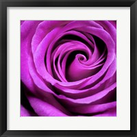 Framed Purple Rose