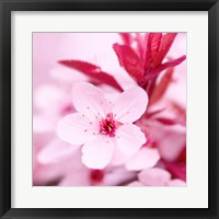 Framed Pink Blossom 1