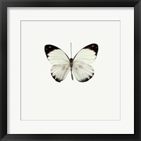 Framed White Butterfly 1