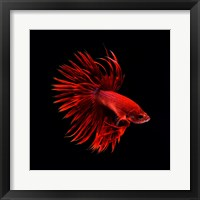 Red Betta Fish Framed Print
